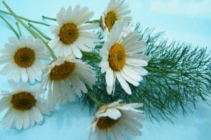 dried bunch of daisies