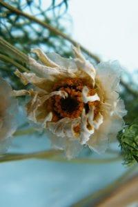 dried daisy flower