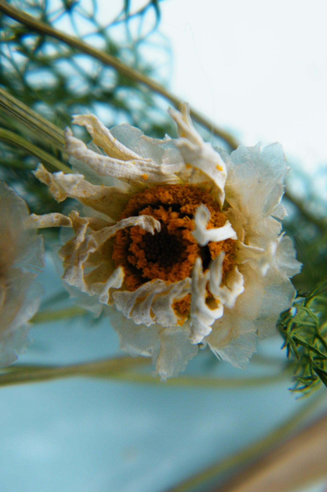 dried daisy flower