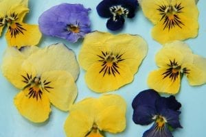 pressed dried violas