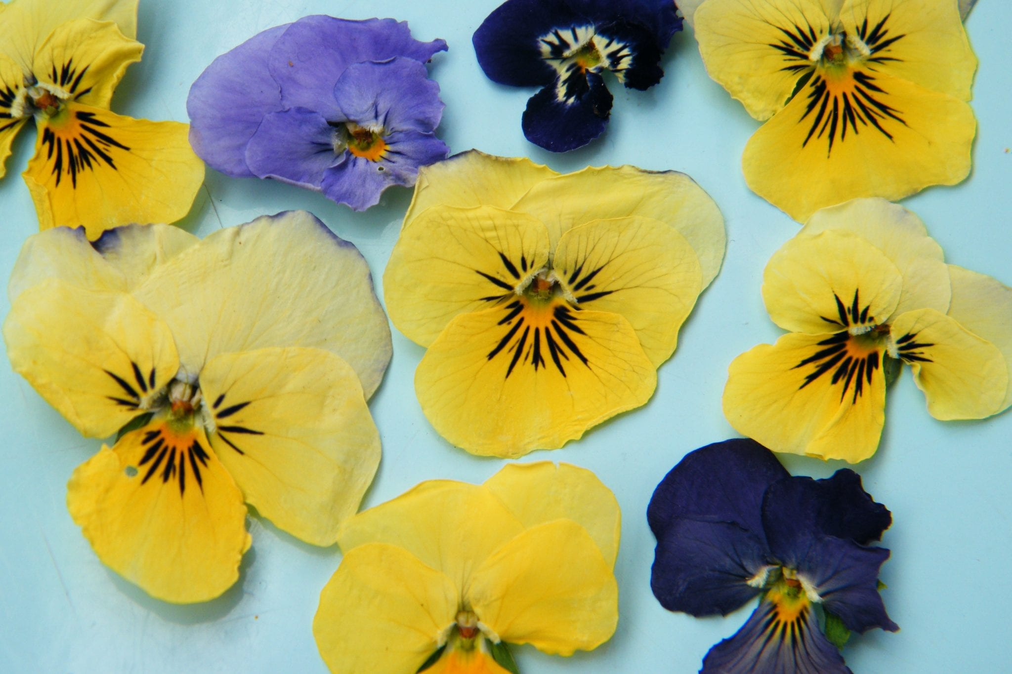pressed dried flowers violas