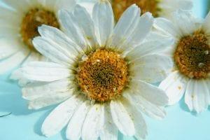 pretty dried daisies