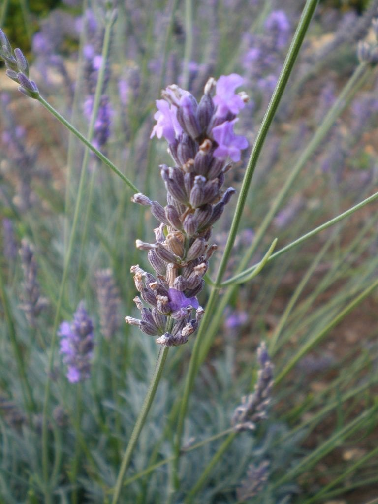 Choosing Lavender For Making Dried Flower Bunches At Home Dried Flower Craft