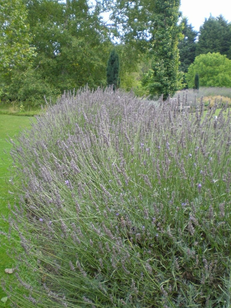 lavender flowers growing
