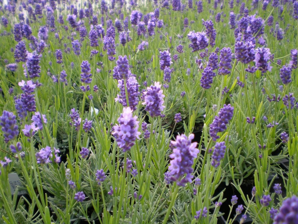 lavender flowers for dried lavender bunch