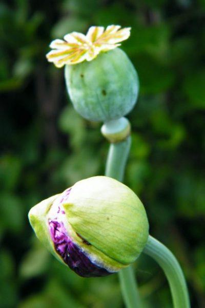 poppy seed heads flower bud