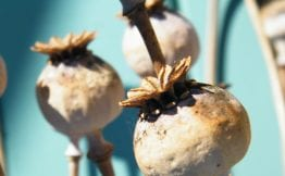 dessiccated flowers poppy seed heads