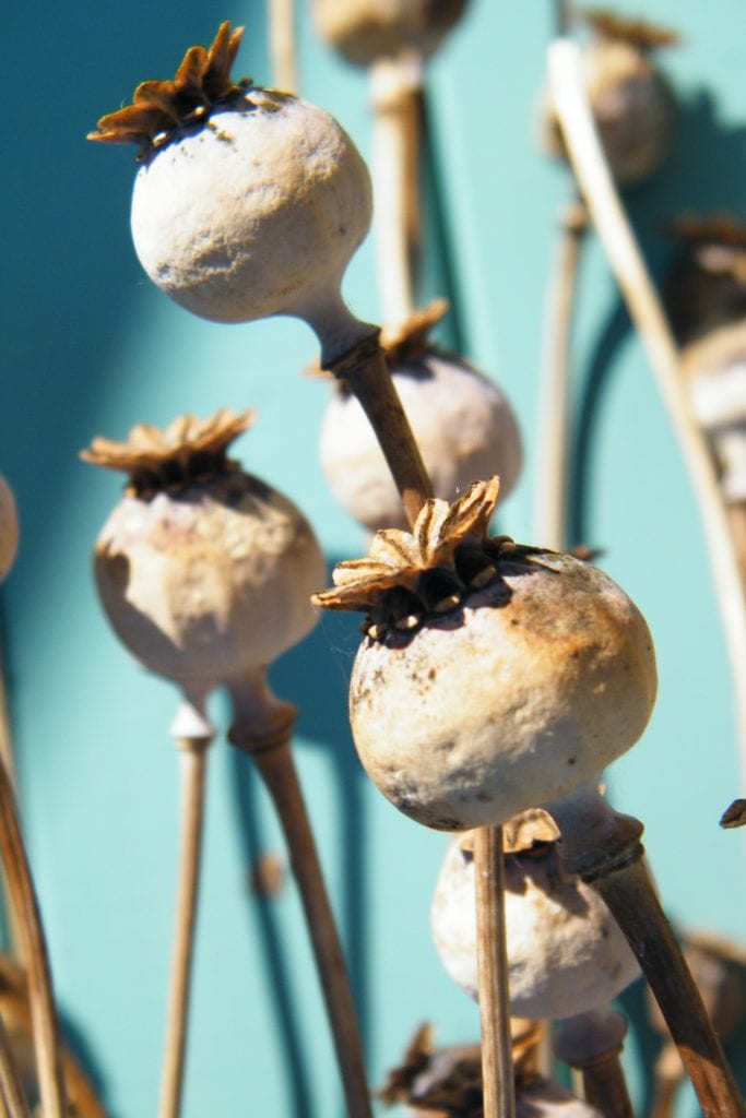 desiccated flowers poppy seed heads