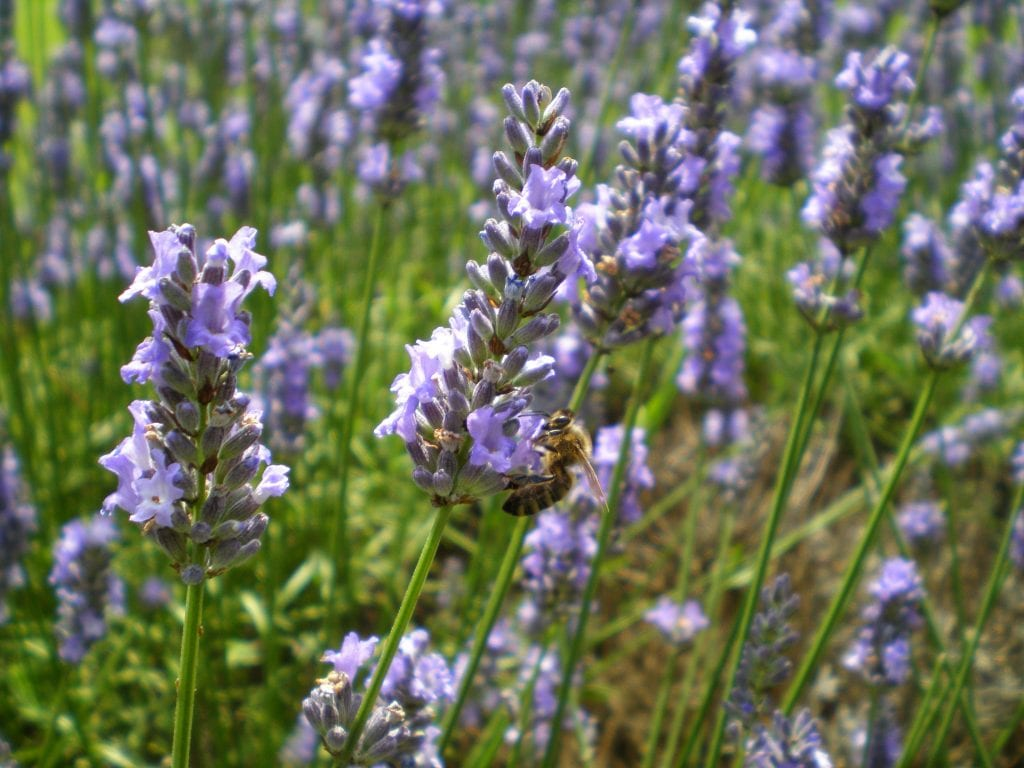 bee on lavender flowers intermedia sussex