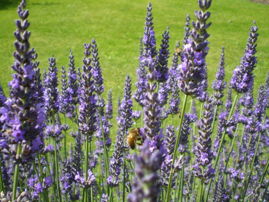 lavender flowers intermedia abriallii