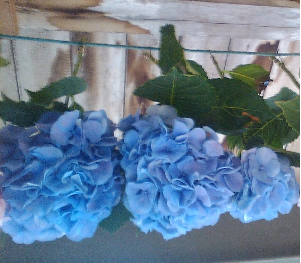 drying hydrangea flowers blue