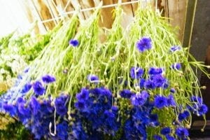 drying cornflowers