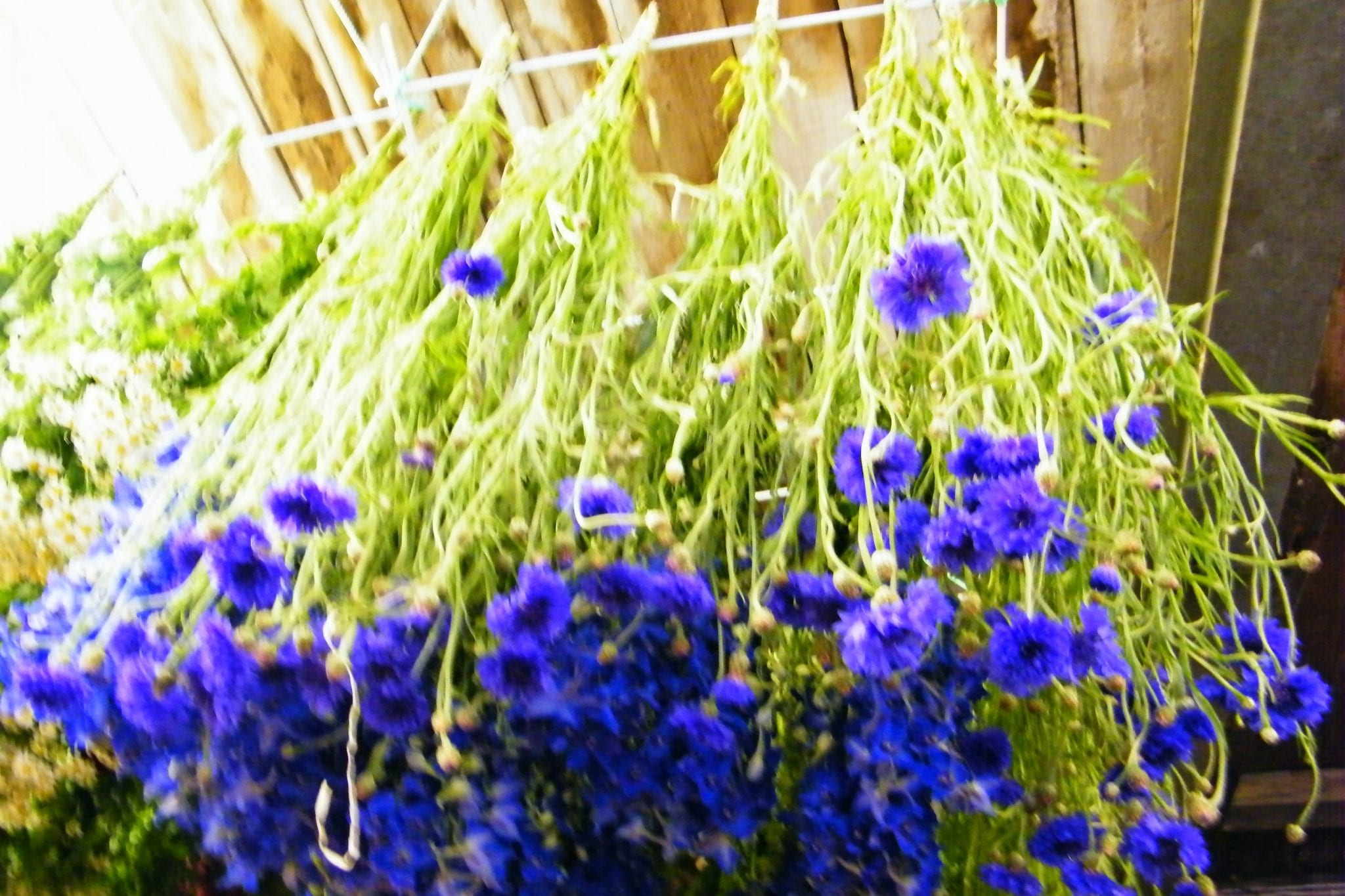 cornflowers hung up to dry in my workshop