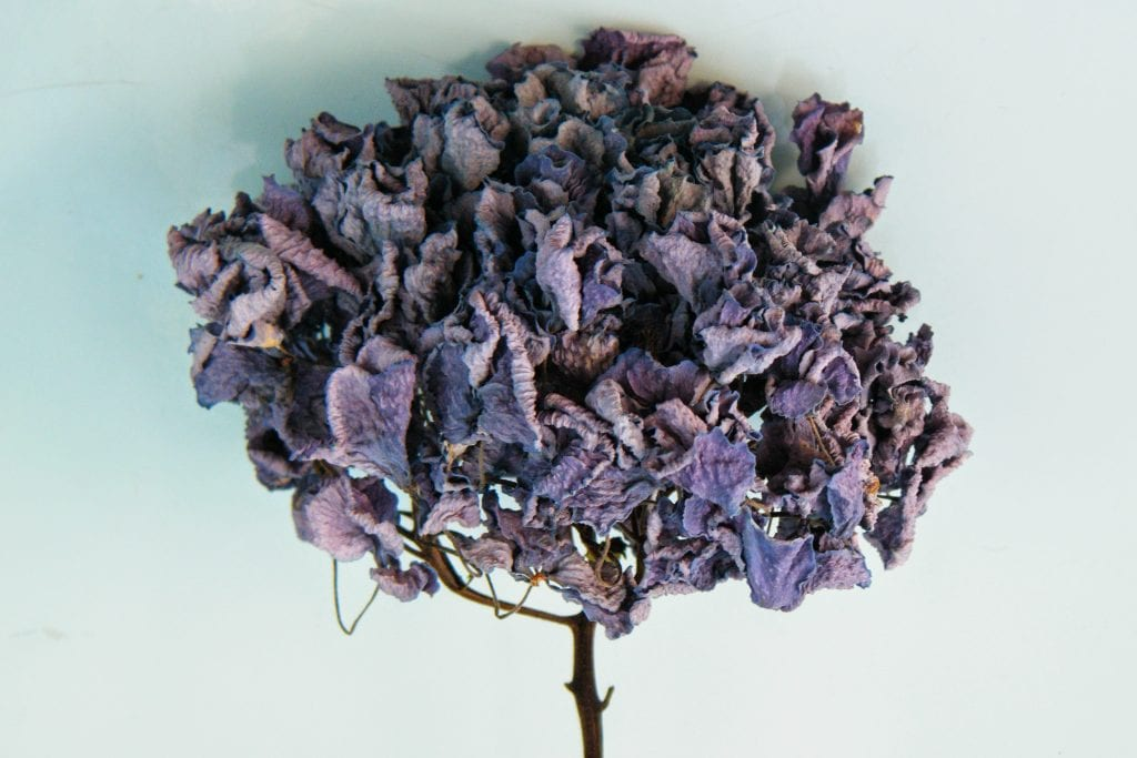 dried hydrangeas blue