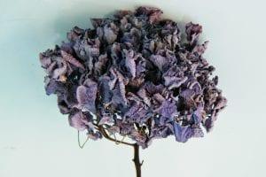 dried hydrangeas blue