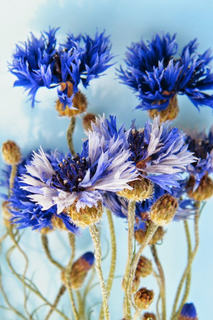 dried cornflowers