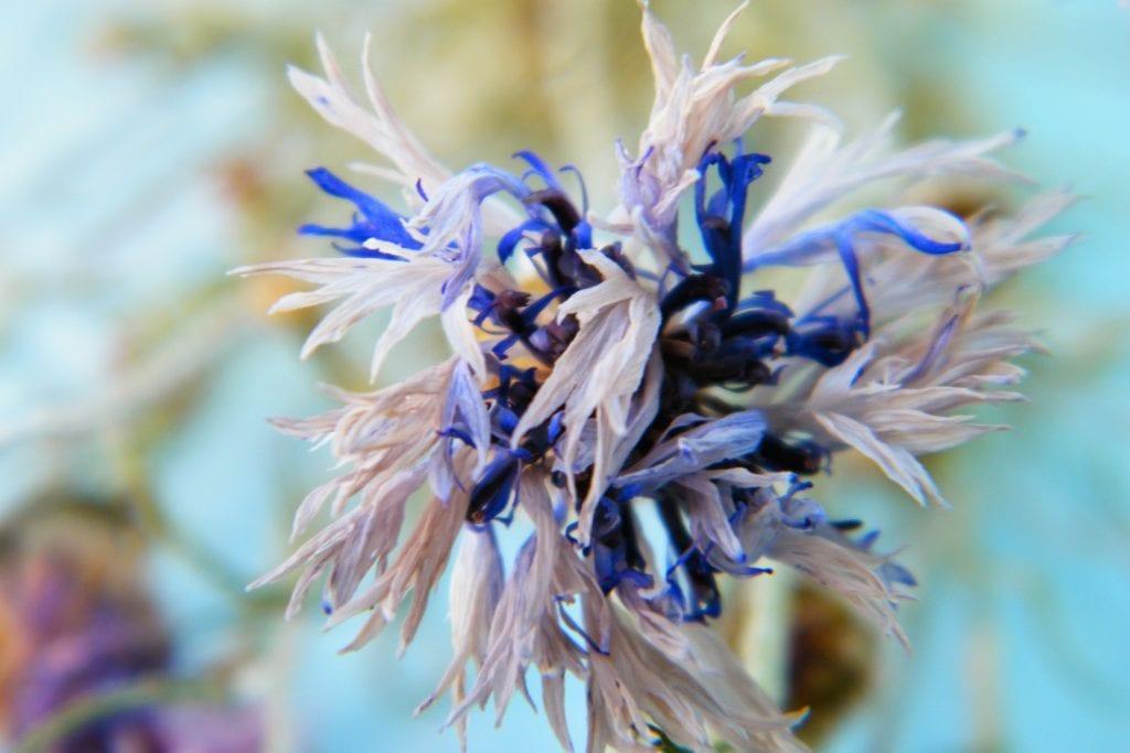 faded cornflower petals