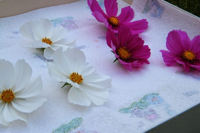 cosmos flowers ready to dry