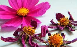 pink dried cosmos flowers
