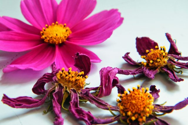 dried flowers cosmos