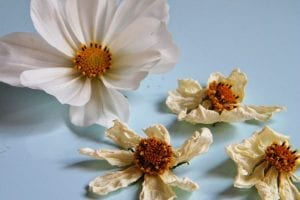 white dried cosmos flowers