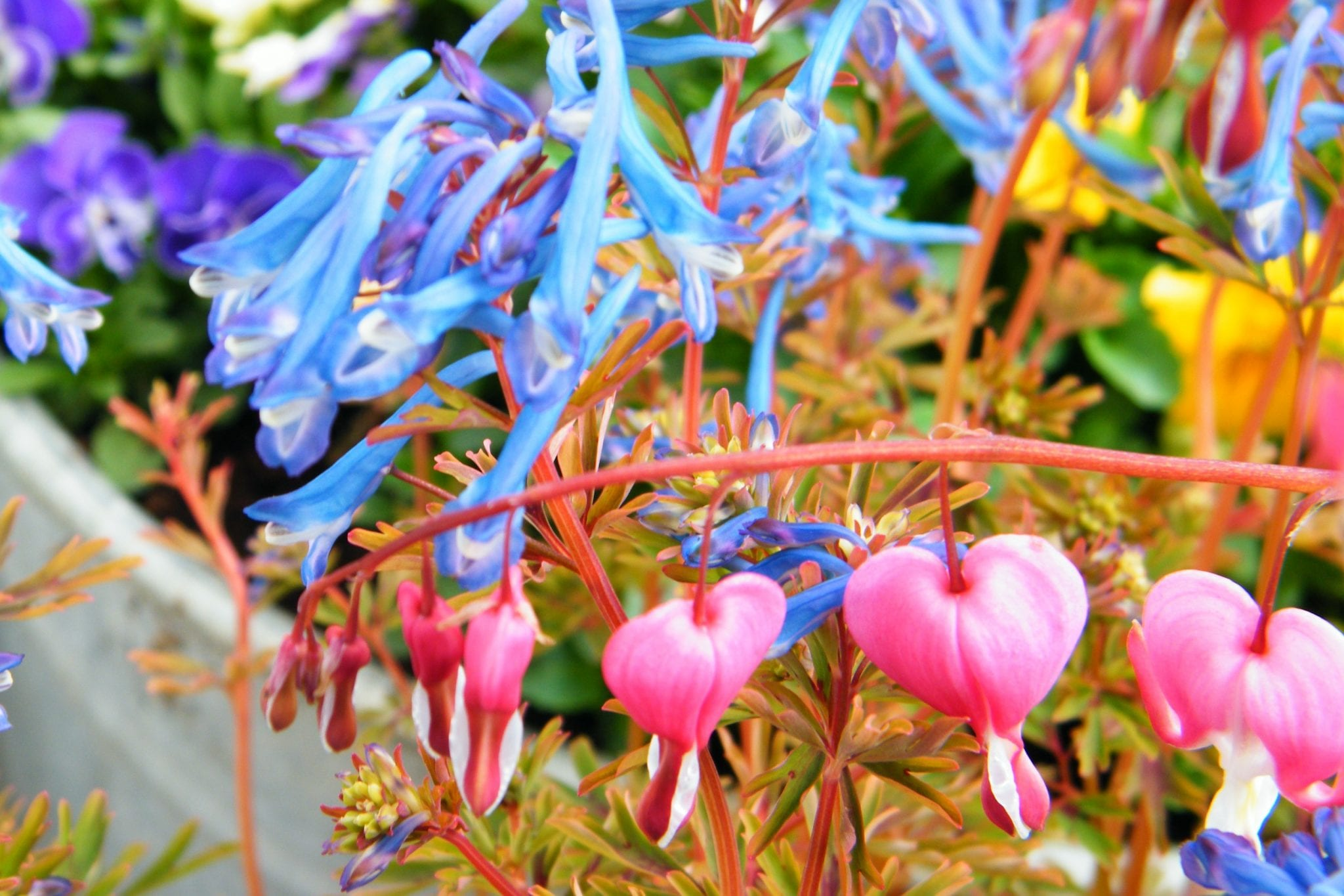 corydalis and bleeding heart