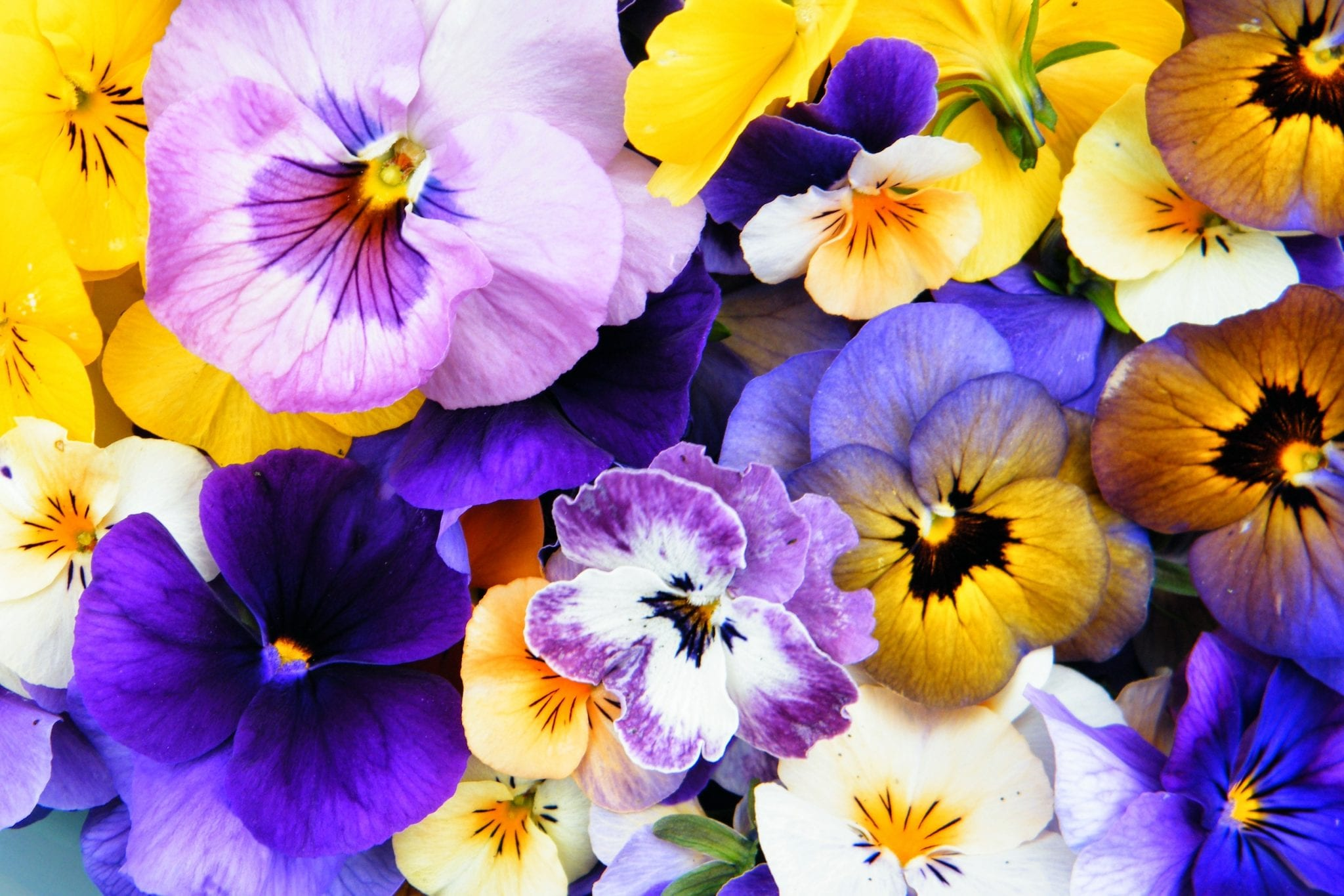violas ready for pressing