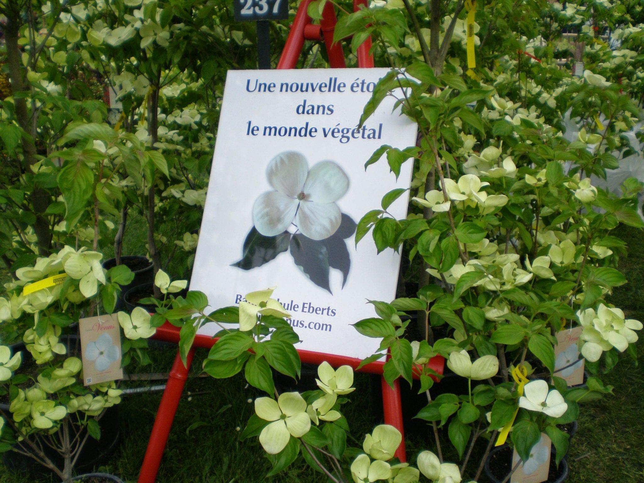 cornus flowers
