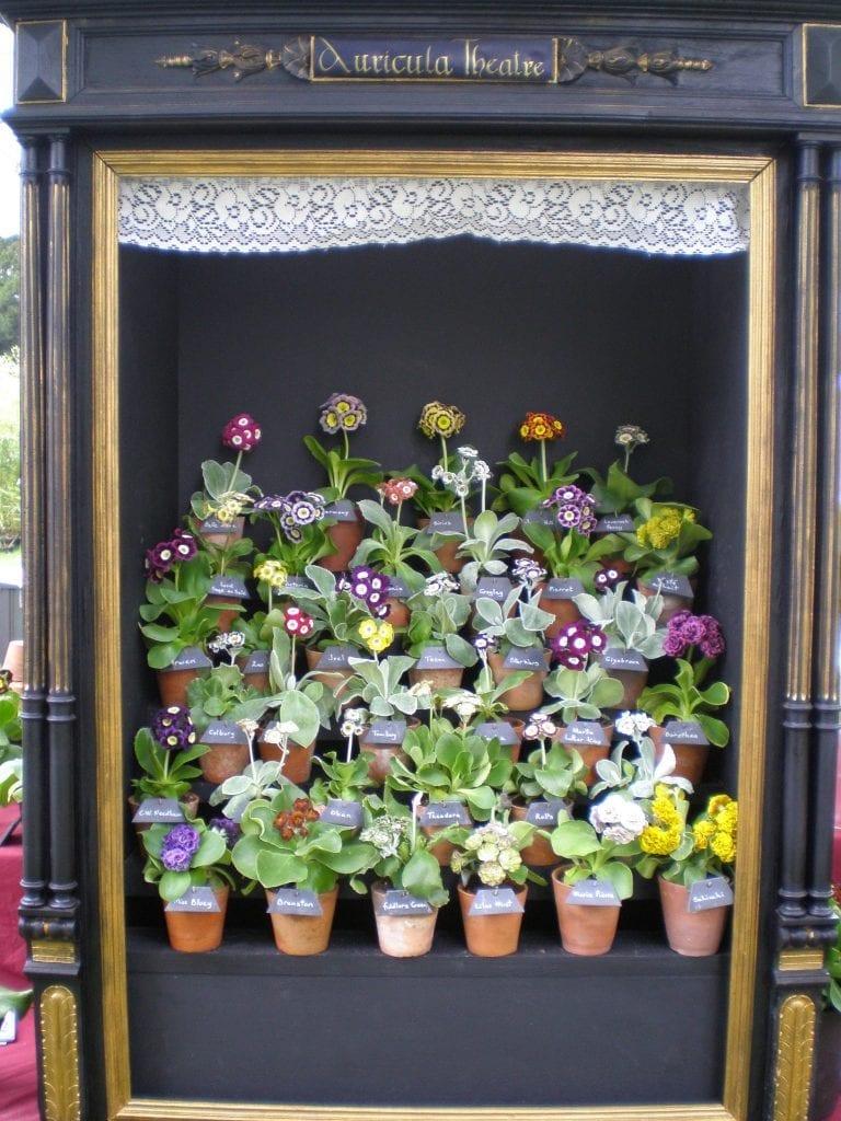 auricula flowers