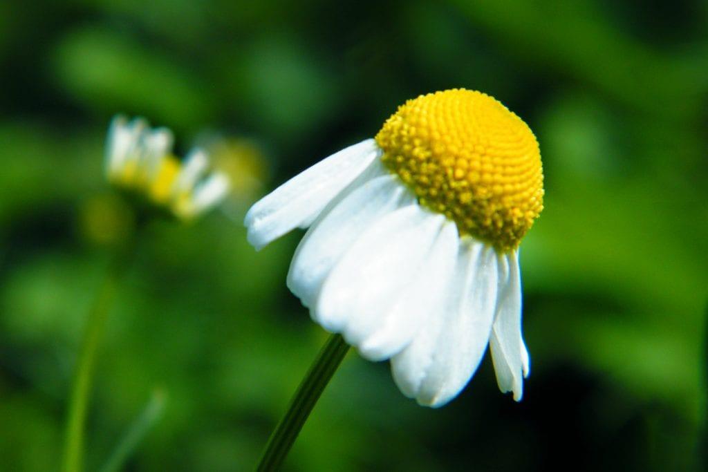chamomile flower garden