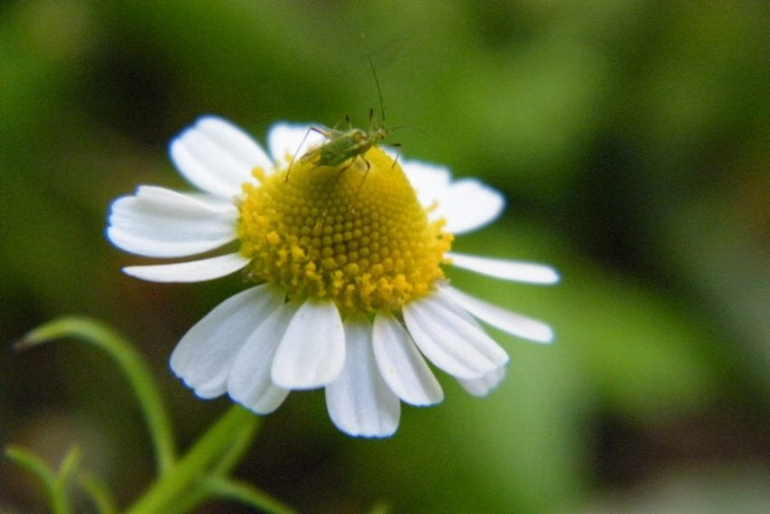 chamomile flower with bug