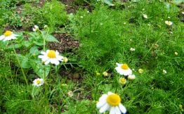 chamomile flowers use dry or fresh