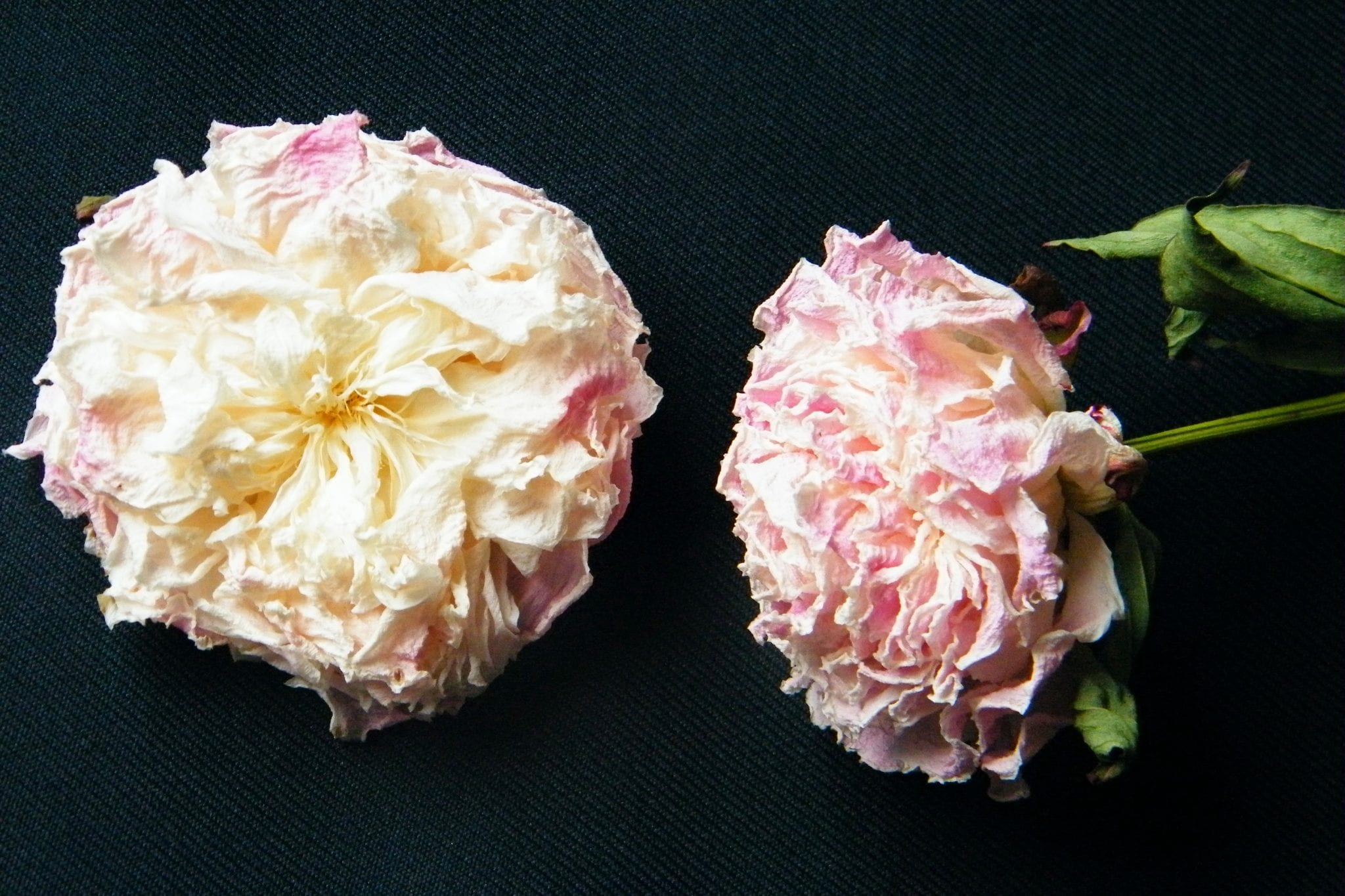 dried peonies