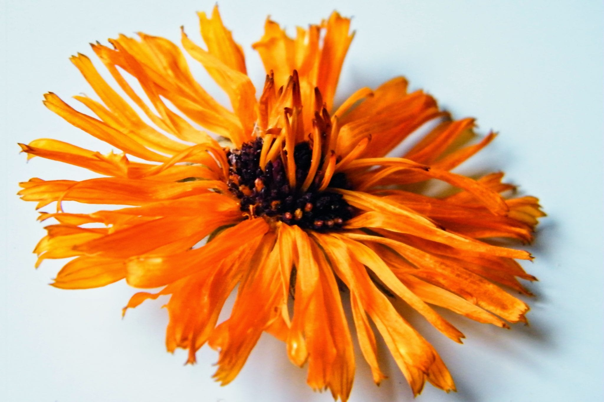 dried marigold flower