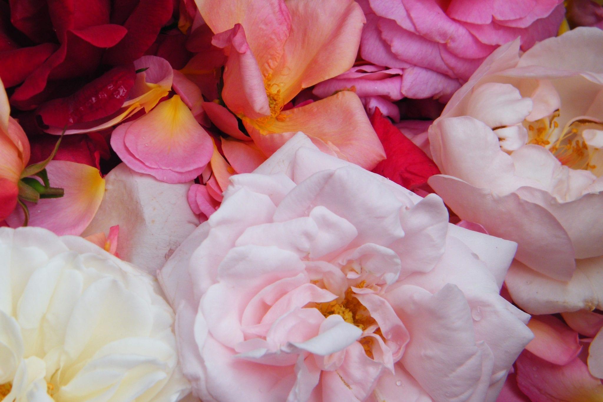 drying rose flowers