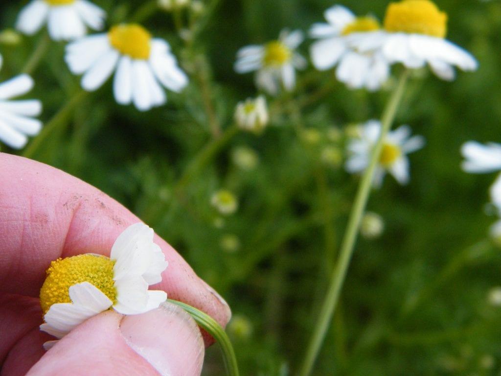 harvesting chamomile flowers