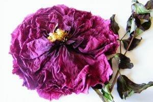 tree peony flower dried