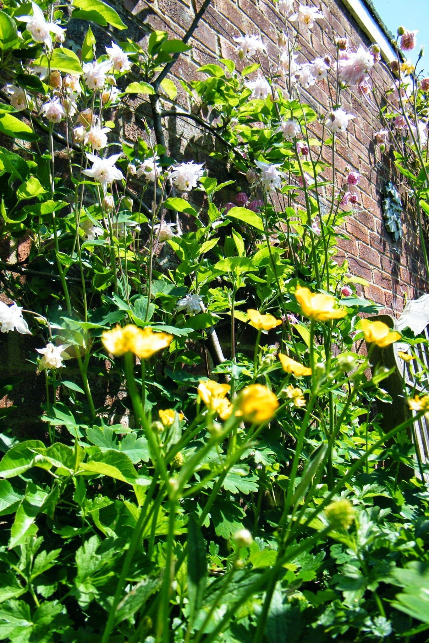 burgeoning garden aquilegias