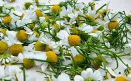 fresh chamomile flowers
