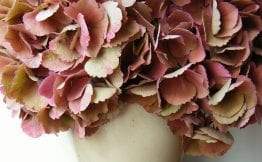 preserving hydrangeas