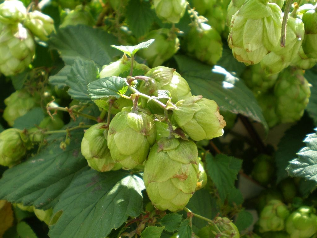 hops make lovely dried flowers