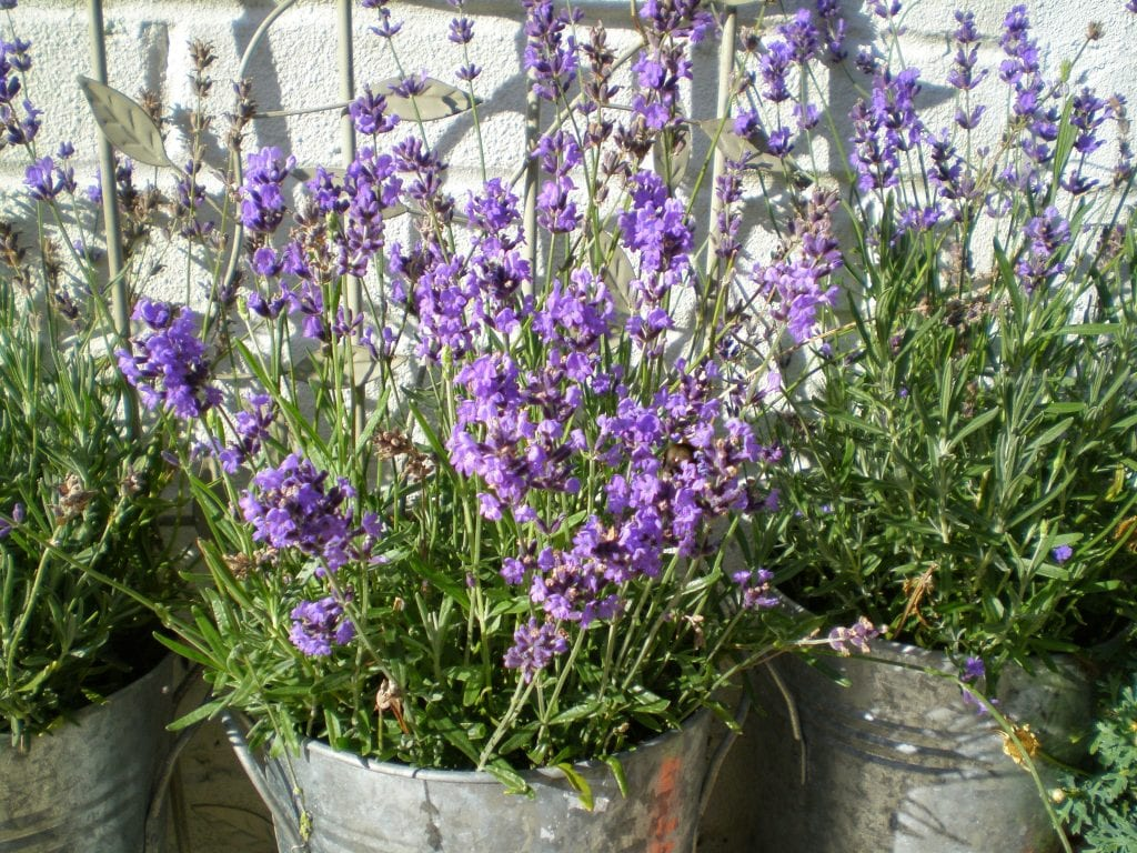 Lavender flowers still blooming