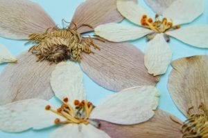 pressed blossom clematis