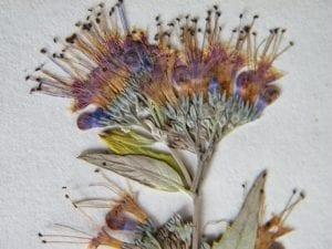 pressed caryopteris