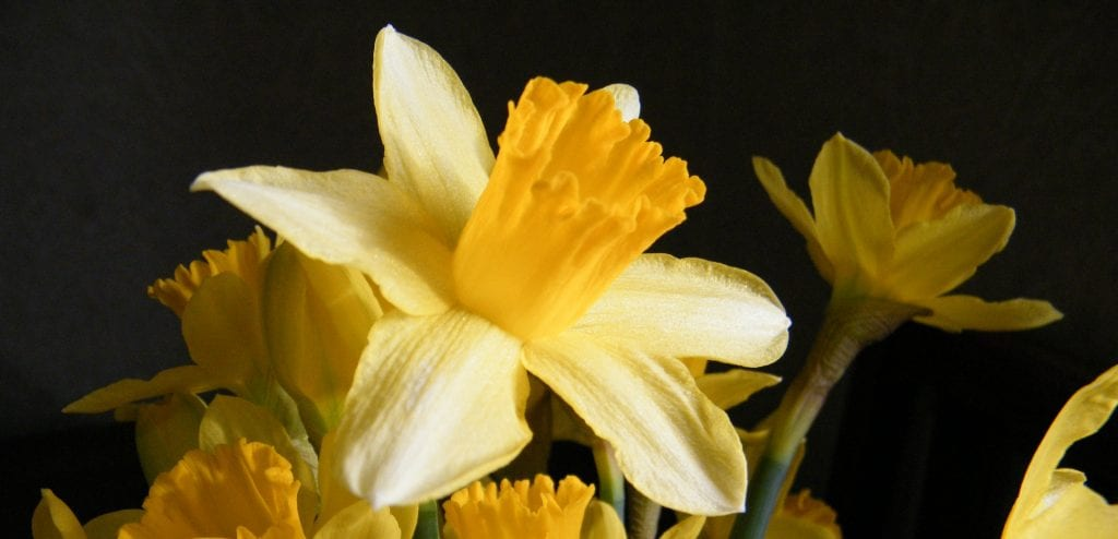 a floral treat - daffodil flowers