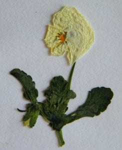 pressed flower project viola after