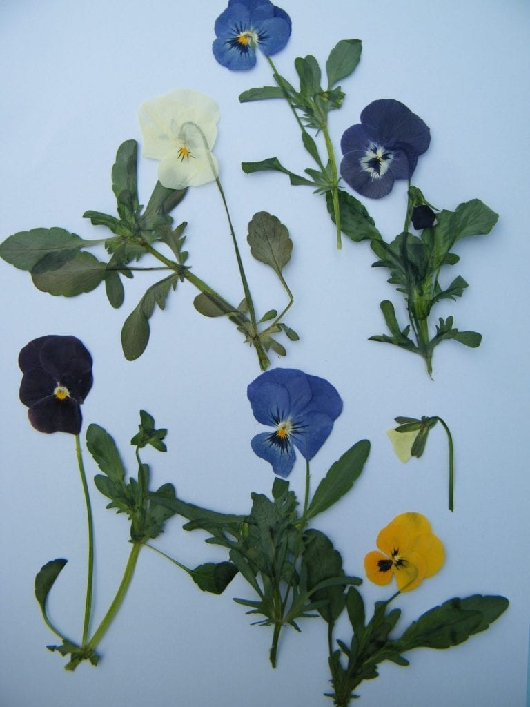 pressed viola flowers