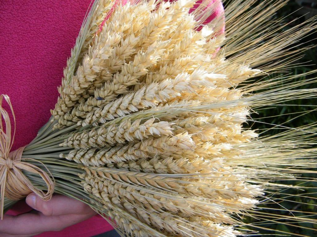 barley and wheat sheaf