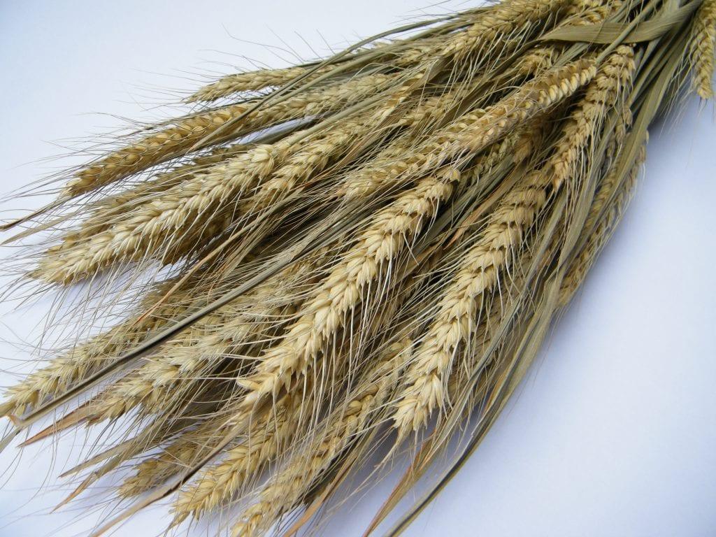 dried bearded wheat bunch
