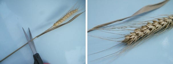 cutting bearded wheat stems before making dried flower bouquet